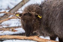 吃与雪的绵羊在背景中 图库摄影