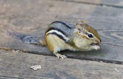吃东西的一只逗人喜爱的滑稽的花栗鼠的图象 库存照片