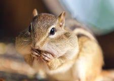 吃东西的一只逗人喜爱的滑稽的花栗鼠的照片 免版税库存照片