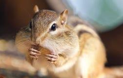 吃东西的一只逗人喜爱的滑稽的花栗鼠的照片 库存照片