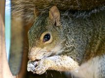 吃东西的一只滑稽的逗人喜爱的灰鼠的美丽的被隔绝的照片 免版税库存图片
