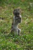 幼小黑长尾小猴 免版税库存图片