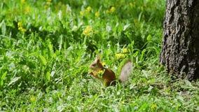 吃东西的红松鼠在森林里 影视素材