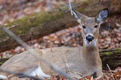 吃东西的鹿的滑稽的照片 图库摄影