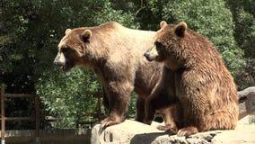 吃乞求食物的棕熊 股票录像