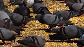 吃五谷和谷物在庭院/小径里的鸽子顶楼  股票录像