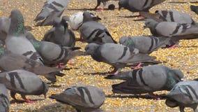 吃五谷和谷物在庭院/小径里的鸽子顶楼  影视素材