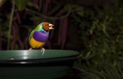 吃五谷的Gouldian雀科 免版税图库摄影