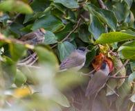 吃亚洲柿树果子的莺 免版税库存照片