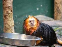 吃从一个哺养的碗的危险的从前带头的狮子绢毛猴leontopithecus chrysomelas里面在动物园里 免版税库存图片