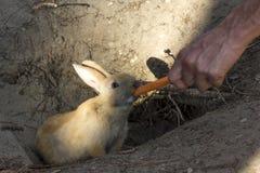 吃从一只人的手的兔子一棵红萝卜 库存图片