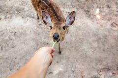 吃从人的手的一头小鹿青豆 免版税库存照片