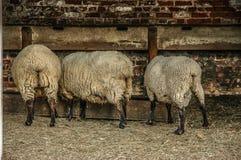 吃从低谷的绵羊 免版税库存图片