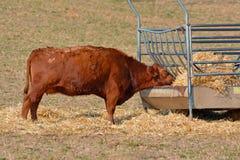 吃从动物饲养者的红色阿伯丁爱神牛干草 免版税图库摄影
