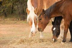 吃从地面的三匹马干草在牧场地 免版税库存照片