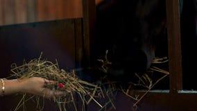 吃从手所有者的黑马干草在摊位 在槽枥的妇女哺养的马 股票录像