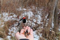 吃从手的Downey啄木鸟 免版税库存图片