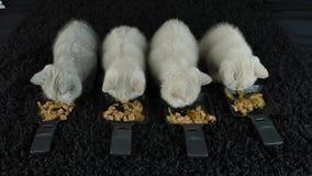 吃从板材的小猫生肉 股票视频
