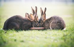 吃从板材的逗人喜爱的兔宝宝 复活节卡片的背景 免版税库存图片