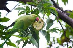 吃从树的鹦鹉果子 免版税库存照片