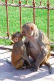 吃从母亲的小猴子牛奶 免版税库存照片