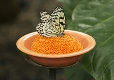 吃从盘的宣纸蝴蝶 免版税库存照片