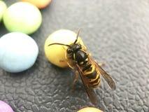 吃从糖果的黄蜂 免版税图库摄影