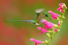吃从美丽的桃红色花的蜂鸟长尾的空气的精灵花蜜在厄瓜多尔 吮花蜜的鸟从绽放 野生生物场面 免版税图库摄影