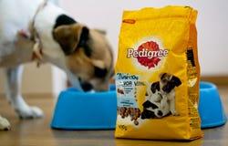 吃从食物的罐家谱狗食狗在背景中 图库摄影