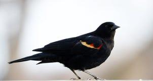 吃从鸟种子饲养者的华美的美洲红翼鸫五颜六色的鸟种子在夏天期间在密执安 免版税图库摄影