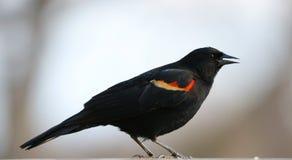 吃从鸟种子饲养者的华美的美洲红翼鸫五颜六色的鸟种子在夏天期间在密执安 库存图片