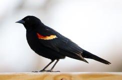 吃从鸟种子饲养者的华美的美洲红翼鸫五颜六色的鸟种子在夏天期间在密执安 免版税库存照片