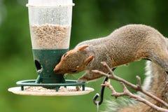 吃从鸟饲养者的灰鼠 免版税图库摄影
