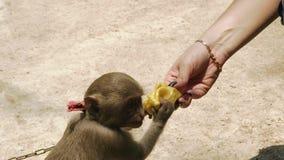 吃光从女性手的小的猴子在动物农场关闭中 喂养逗人喜爱的猴子的妇女的手由果子在动物中 影视素材