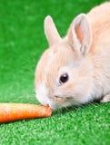 吃兔子的红萝卜 免版税库存图片