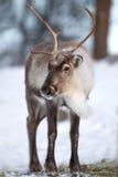 吃冬天森林的驯鹿 免版税库存图片