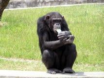 吃冰淇凌的黑猩猩 免版税库存图片
