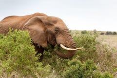 吃分支的非洲大象 图库摄影