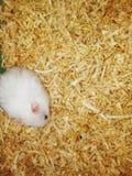 吃切好的木头的白色小仓鼠 免版税库存图片
