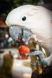 吃切片西瓜,酸值苏梅岛, Thail的大玫瑰色鹦鹉 免版税库存图片