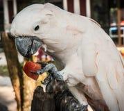吃切片西瓜,酸值苏梅岛, Thail的大玫瑰色鹦鹉 库存照片
