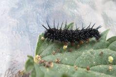 吃刺人的荨麻叶子的孔雀毛虫 免版税库存图片