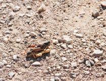 吃动物薄脆饼干的Calif蝗虫 免版税库存图片