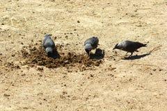 吃动物`屎的三只乌鸦 免版税图库摄影