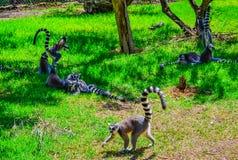 吃午餐的狐猴 一只可爱的矮小的环纹尾的狐猴定居对快餐 图库摄影