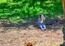 吃午餐的狐猴 一只可爱的矮小的环纹尾的狐猴定居对快餐 免版税库存照片