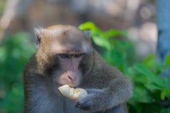 吃单独香蕉的猴子 免版税库存照片