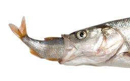吃另一条鱼的鱼 库存照片