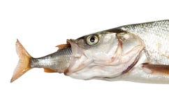 吃另一条鱼的鱼 库存图片