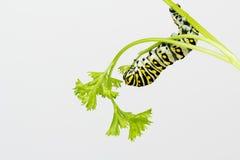 吃叶子有白色背景的幼虫 免版税库存照片